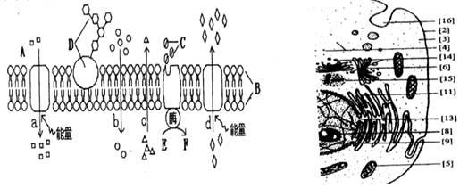 (10分)下图为高等动物细胞及细胞膜的亚显微结构模式图(局部),图中A、B、C、D、E、F表示某种物质,a、b、c、d表示物质跨膜运输方式,数字标号表示细胞结构。请据图回答:(1)图中的[15]中心体与该细胞的___________密切相关。能发生碱基互补配对的细胞器有______________(填编号)。(2)若这是一种嗅觉细胞,它只拥有一种类型的气味受体,根本原因是___________。(3)若用吡罗红甲基绿染色剂对图中细胞染色,在显微镜下看到的现象是_____________。(4)图中与生成水